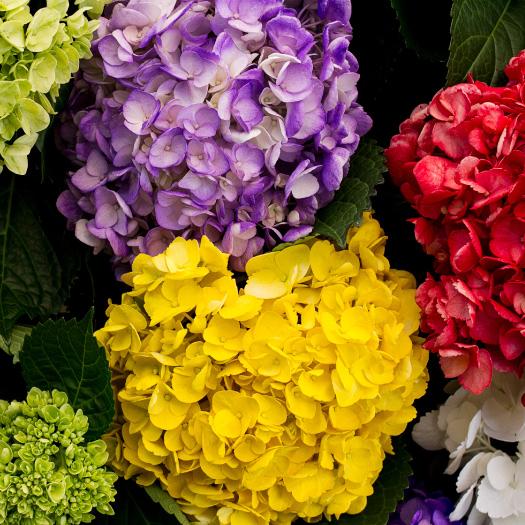 Montecarlo-gardens-colombia-rionegro-hortensias-hydrangea
