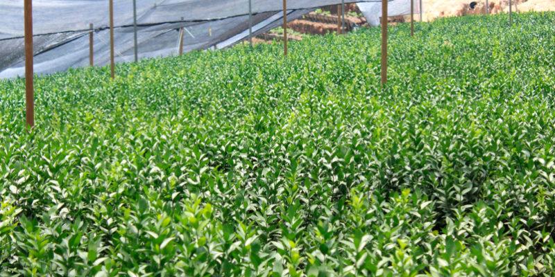 Montecarlo Greens