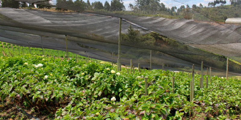 Montecarlo Hydrangeas